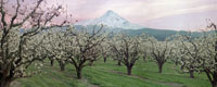 Parkdale Pear Orchard Panorama, Parkdale, Oregon