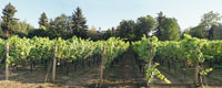 Afternoon Vineyard Panorama, Troutdale, Oregon