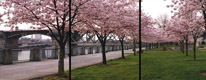 Cherry Trees,Burnside Bridge, Portland, Oregon