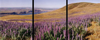 Columbia River Lupines, Goldendale, Washington