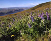 Maryhill Lupines, Goldendale, Washington
