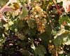 Mendicino Grapes, Mendicino, California