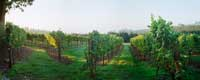 Sunrise on the Vineyard Panorama, McMinnville, Oregon